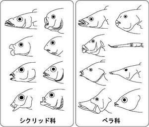 ベラ亜目における特殊な咽頭顎の...