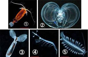 Marine zooplankton